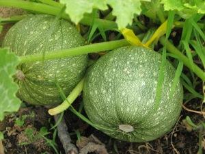 Zucchine tonde - Immagine presa da internet